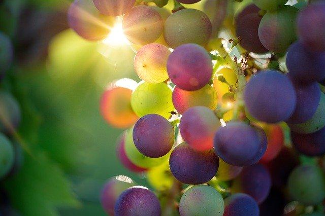 jižní Morava vinice